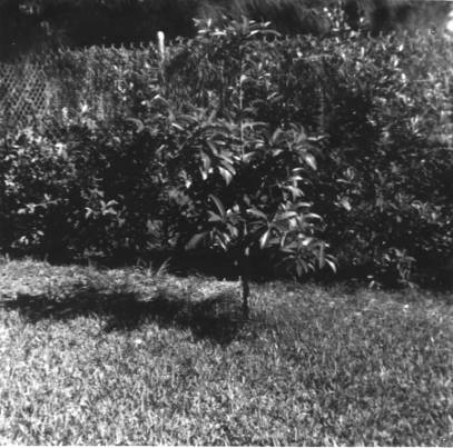 Steinhauer left his legacy in Palm Beach: he planted this sapodilla in Chet's back year in Palm Beach April 1958. Chet was a master at getting other people to do the work...