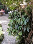 Coffee plant, Antigua Guatemala. Coffee is a big deal in Guatemala and I supported the place by drinking a lot of it.